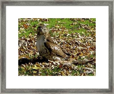 Hawk Falling Leaves Framed Print
