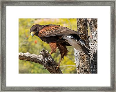 Hawk In A Tree Framed Print by Leo Bounds