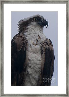 Hawk Looking Into The Distance Framed Print