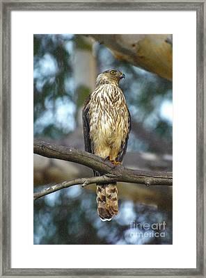 Hawk Framed Print by Marc Bittan