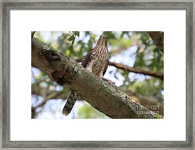 Hawk On A Branch Framed Print