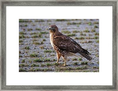 Hawk On A Walk Framed Print by Randall Ingalls