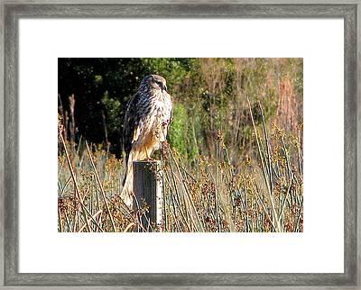 Hawk On Post Framed Print