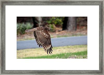 Hawk On The Fly Framed Print by Rosanne Jordan
