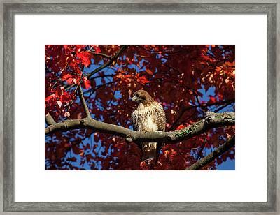 Hawk Overlooking Prey Framed Print by Karol Livote