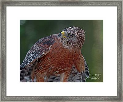 Hawk Portrait Framed Print