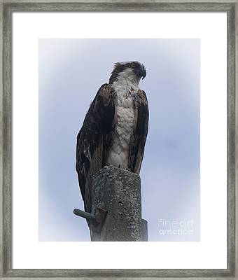 Hawk Pose Framed Print
