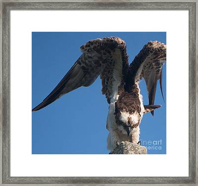 Hawk Prepares For Flight Framed Print