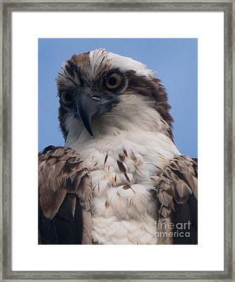 Hawk Profile Framed Print