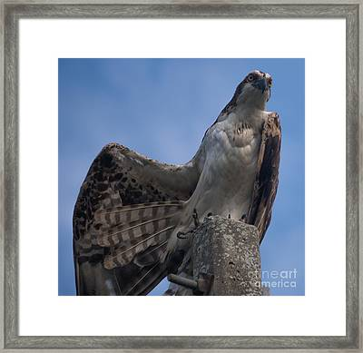 Hawk Stretching Framed Print