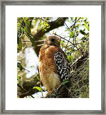 Hawk Taking A Rest On A Tree In Lakeland Florida Framed Print