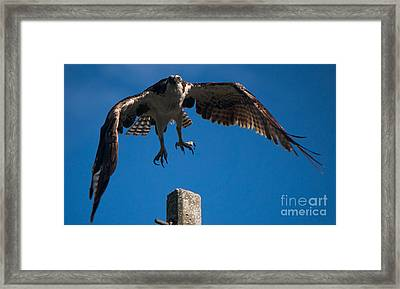 Hawk Taking Off Framed Print