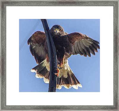 Hawk Watch 6 Framed Print