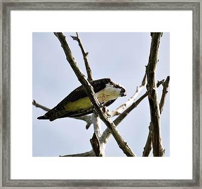 Hawk With Prey Framed Print by Rose  Hill