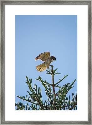 Hawk With Regal Landing Framed Print