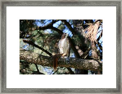 Framed Print featuring the photograph Hawk With Squirrel  by Christy Pooschke
