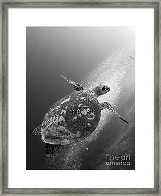 Hawksbill Turtle Ascending Framed Print by Steve Jones
