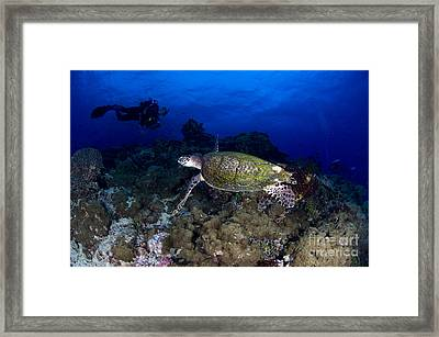 Hawksbill Turtle Swimming With Diver Framed Print by Steve Jones