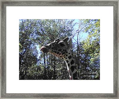 Head Giraffe Framed Print by Daniel Henning
