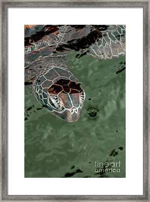 Head Of A Green Sea Turtle In The Water. Framed Print by Jacques Jacobsz