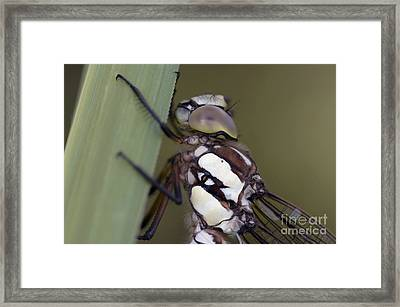 Head Of The Dragon-fly Framed Print by Michal Boubin