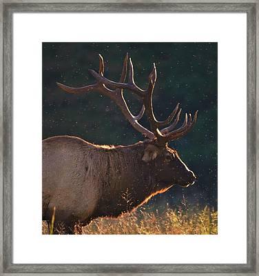 Head Of The Herd Framed Print