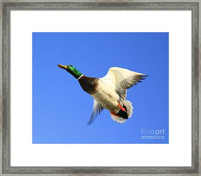 Heads Up Framed Print by Robert Pearson