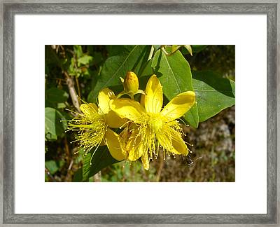 Healthy Beauty - St John's Wort In Blossom Framed Print