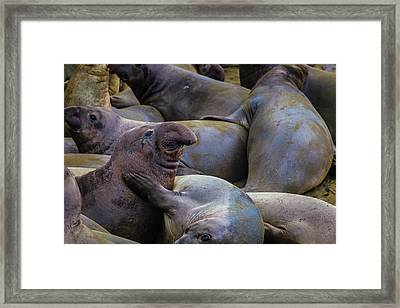 Heard Of Elephant Seals Framed Print