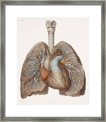 Heart And Lungs, Historical Illustration Framed Print