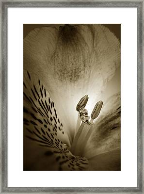 Heart And Soul Of Alstroemeria  Framed Print