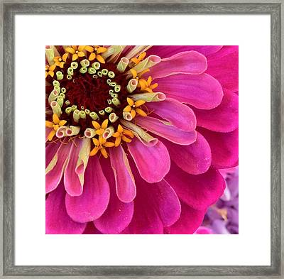 Heart Of The Zinnia Framed Print by Deborah Bifulco