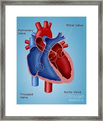 Heart Valves Framed Print