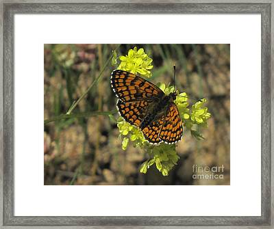 Framed Print featuring the photograph Heath Fritillary Butterfly  by Jacqi Elmslie