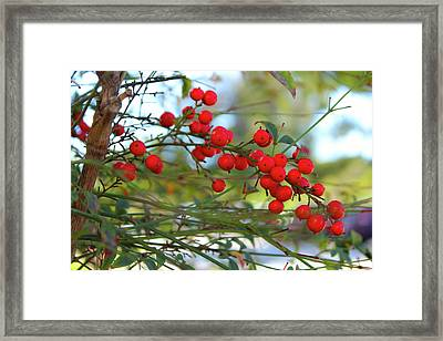 Framed Print featuring the photograph Heavenly Bamboo by Alison Frank