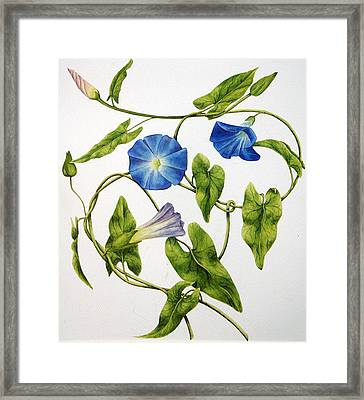 Heavenly Blue Morning Glory Framed Print by Veronika Logar