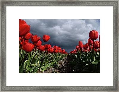 Heavy Clouds Over Red Tulips Framed Print by Mihaela Pater