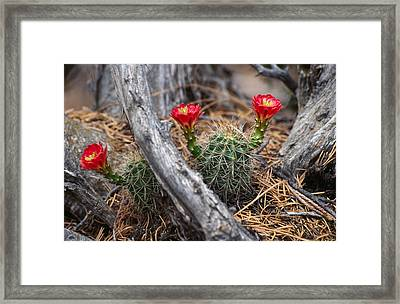 Hedgehog Cactus In Bloom Framed Print by Panoramic Images