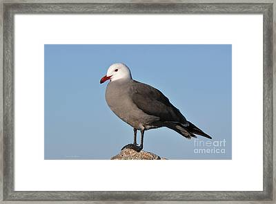 Heermann's Gull In Breeding Plumage Framed Print