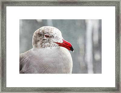 Heerman's Gull Framed Print