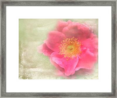 Heirloom Rose Framed Print by Catherine Alfidi