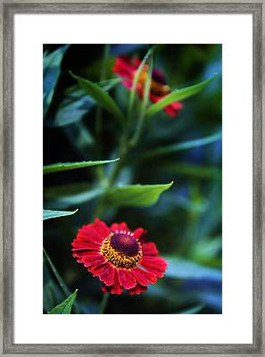 Helenium In Bloom Framed Print by Jessica Jenney
