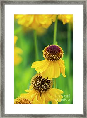 Helenium Riverton Beauty Flowers Framed Print by Tim Gainey