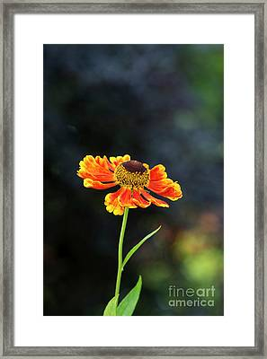 Helenium Waltraut Framed Print by Tim Gainey