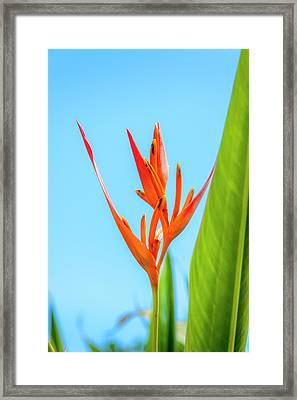 Heliconia Flower Framed Print