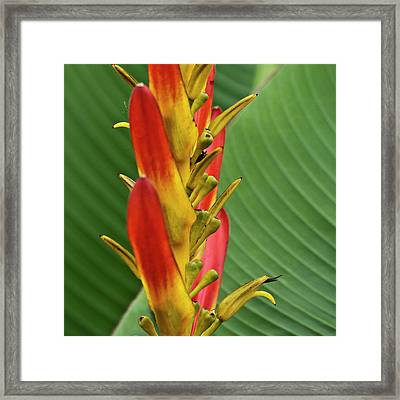 Heliconia Framed Print by Heiko Koehrer-Wagner