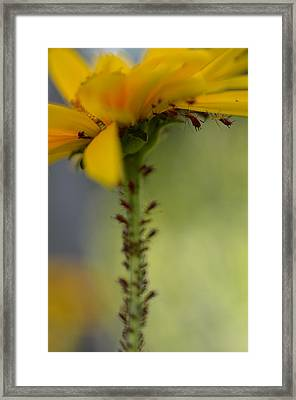 Heliopsis Infested Framed Print