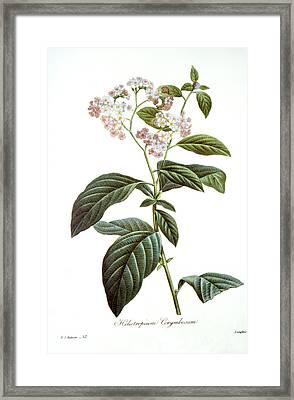 Heliotrope Framed Print by Granger