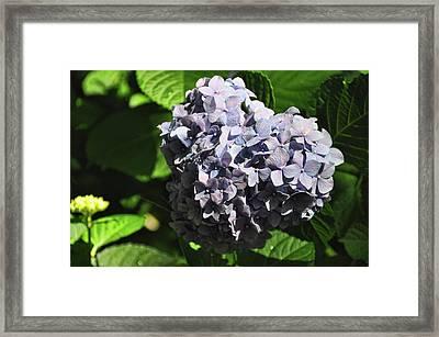 Heliotrope Framed Print by JAMART Photography