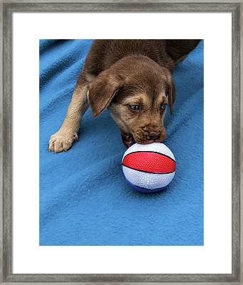 He'll Grow Into It - Puppy And Ball Framed Print